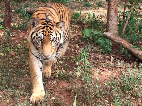 86 of rescued Thai Tigers die at Govt care centre !! in Thailand