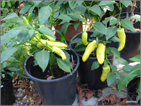 Chillis - a contrast in styles