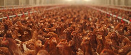 Poultry Waste incineration: UK versus around the globe