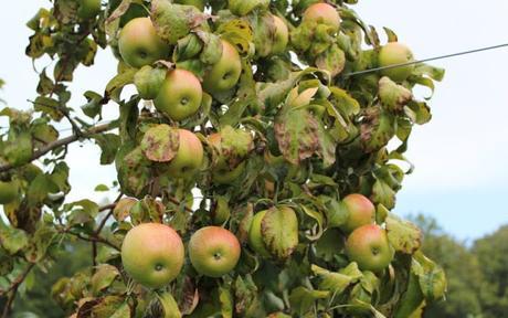 Apples in full bloom at Kashmir