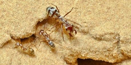 faster than Usain Bolt ~ Saharan silver Ants !!