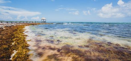 The Sargassum Situation: When Seaweed Threatens Your Tropical Vacation3 min read