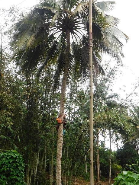 Getting tuba or coconut wine