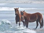 Corolla Wild Horses (Immigrants Since 1500s) Finally Star Tourism Campaign