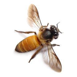 Help Save Declining Bee Populations by Adopting a Bee
