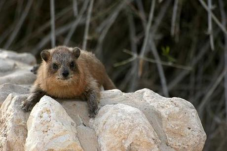 ROCK HYRAX MORE TUNEFUL THAN WE THOUGHT