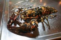Calvin the Calico Lobster Beats the Odds, Avoids the Dinner Plate
