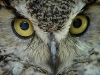 Great horned owl: image via kidoinfo.com