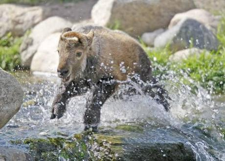 Rare Sichuan takin born in Red River Zoo: image via inforum.com