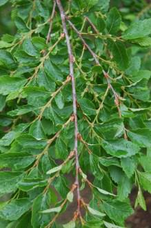 Nothofagus obliqua Leaf (05/05/2012, Kew, London)