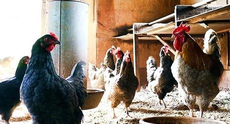 stories about chickens chicken agia smallholder advice how to keep mutual