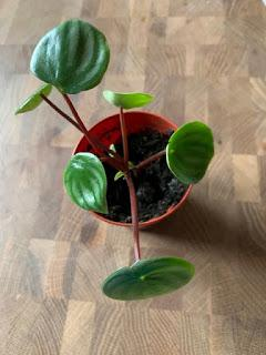 Irritating Plant of the Month November 2019 - peperomia angst