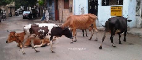 Woes of Triplicane ~ cattle menace : HC notice to Corporation