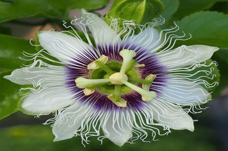 Passiflora – Health Benefits, Medicinal Properties and Uses