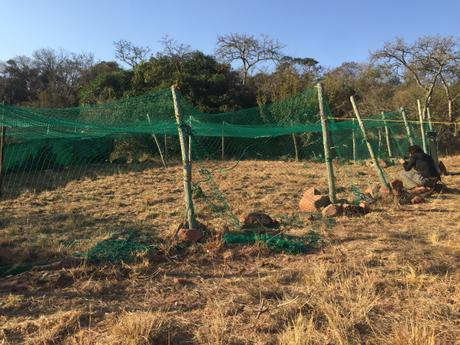 Removing baboon collars….the view from the hide!