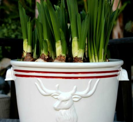 Holiday Paperwhites