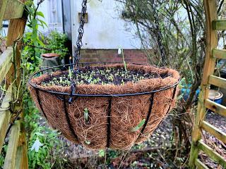 A hanging basket for spring