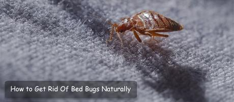 How to Get Rid of Bed Bugs Naturally: 8 Proven Ways