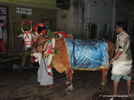 பொங்கலோ பொங்கல் ~ மாட்டு பொங்கல் ~ thanking cattle for the harvest 2020