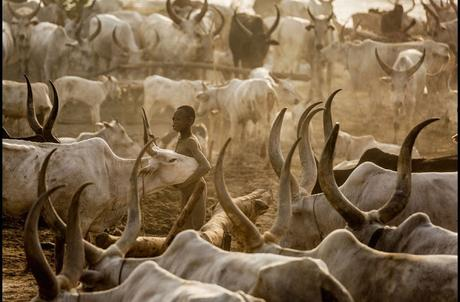 horns of cows - genetically modifying them for benefit of cattle merchants !!