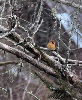 Snow Birds--Mostly Cardinals