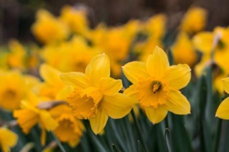 Atlanta Annual Daffodil Planting – Is it just a fluke?