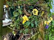 Irritating Plant Month January 2020 Hanging Violas