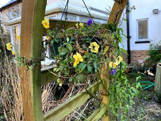 Irritating plant of the month January 2020 - hanging violas