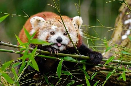 Why are Red Pandas Endangered, Why are They Important and Interesting Facts About Red Pandas