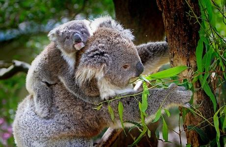 Victoria Witnesses An Unprecedented Act of Animal Cruelty With More Than 40 Koalas Expected Dead Post Plantation Logging