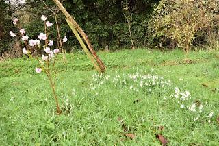 Snowdrop time in the garden