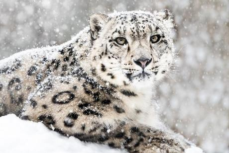 What are Snow Leopards? Why Have They Become Endangered? Importance and Facts About Snow Leopards