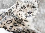 What Snow Leopards? Have They Become Endangered? Importance Facts About Leopards