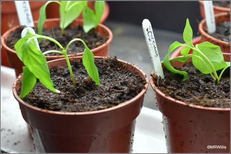 Transplanting chillis