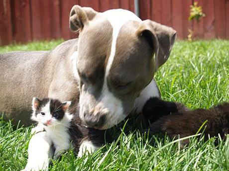 Pit Bulls Will No Longer Be Labeled As Vicious Dogs
