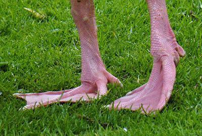 Geese Feet