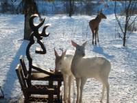 Rare Pair Of White Deer Brighten Up Ontario Backyard