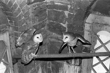 Fact Or Fiction: Barn Owls Inhabited The Smithsonian?