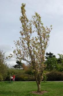Prunus serrulata 'Amanogawa' (05/05/2012, Kew Gardens, London)