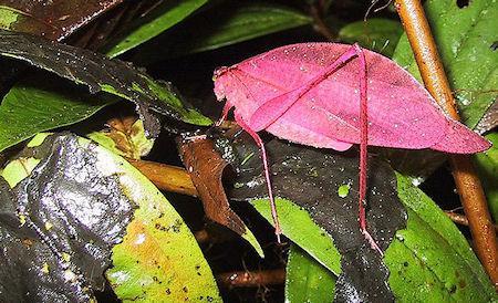 The Extraordinary Pink Katydid