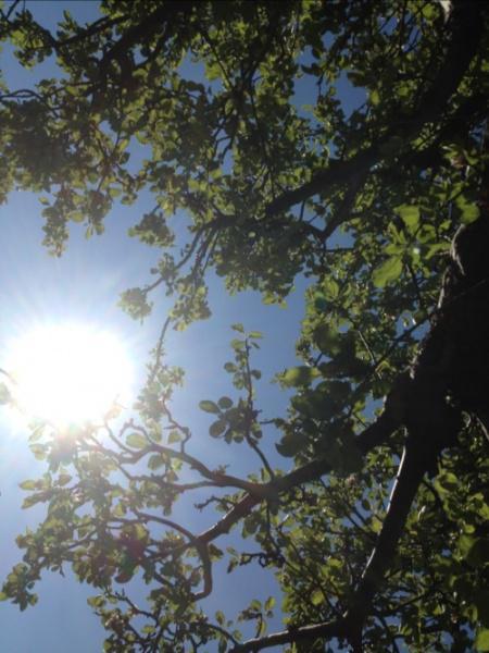 sunlight through the apple tree