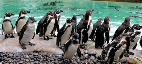 Penguins, London Zoo