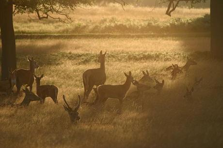 Deer, Richmond Park, London