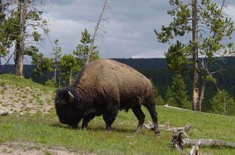 Boulder, Colorado, turning down gift of bison.