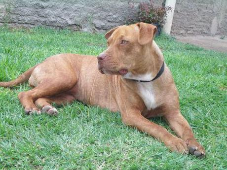 The American Pit Bull Terrier -- demon or dog?