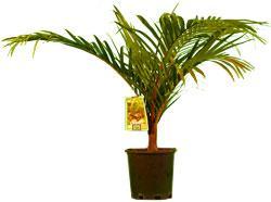 Redneck Palm