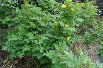 Paeonia lutea (05/05/2012, Kew Gardens, London)