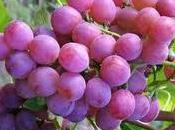 Grape Seed Extract Cancer