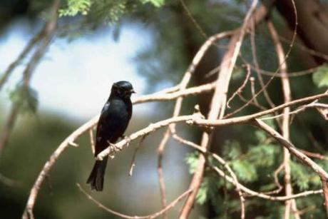 Blackbirds are adding human-based noises to their song repertoire