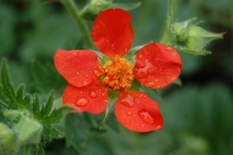Geum coccineum Flower (05/05/2012, Kew Gardens, London)